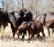 herd of buffalo safari in africa
