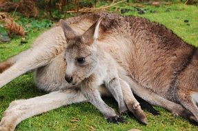 Cute Wallaby Kangaroo