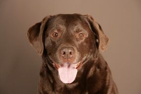 Portrait of the brown Labrador dog