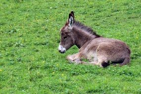 cute donkey resting on the green grass