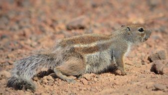 ground squirrel in wildlife