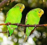 Budgerigars on the branch
