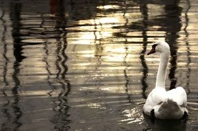swan on the evening pond
