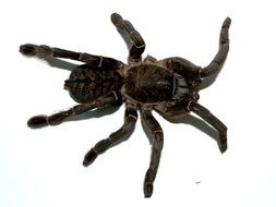 scary black big tarantula