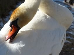 graceful mute swan