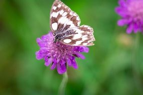 butterfly with chessboard pattern on the purple flower
