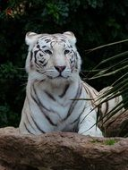noble white bengal tiger