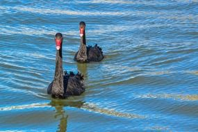 couple of a black swans