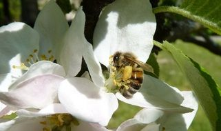 bee on apple blossoms close up