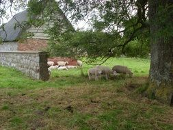 Sheep on a farm in countryside