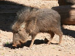 chacoan peccary in South America