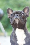 cute French Bulldog looking up, portrait