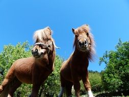 Picture of Shetland Ponies