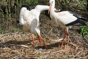 two white stork on a river bank