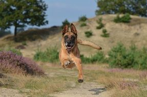 Powerful Belgian Shepherd Dog jumping