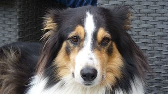 Animal Dog Collie Tricolor Pet