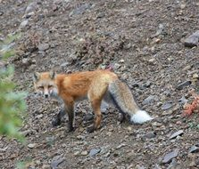 foraging fox in wildlife