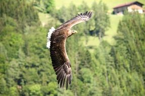 freely flying majestic eagle