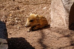 baby Boar, Piglet lying on ground