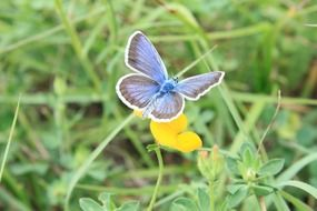 Picture of Blue Butterfly on a flower