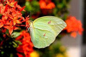 light green butterfly on the red flowers