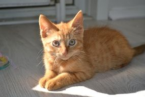 relaxed red tabby kitten