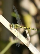 tiger dragonfly on a dry branch