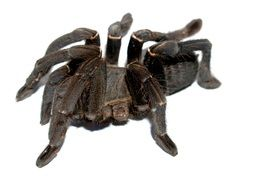 tarantula on white background