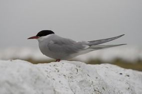 photo portrait of river tern