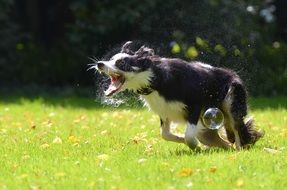 frisky dog playing with soap bubbles