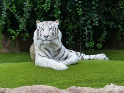 White Bengal Tiger lays on lawn