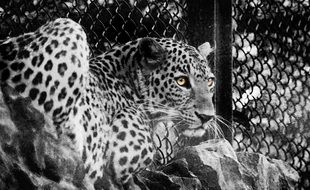 black and white photo of a spotted leopard in a cage