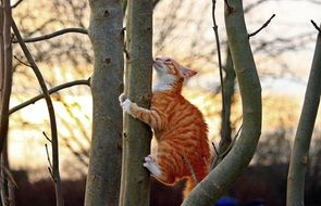 climbing curious red tabby cat
