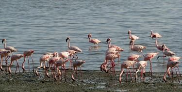 flock of pink flamingos near the water
