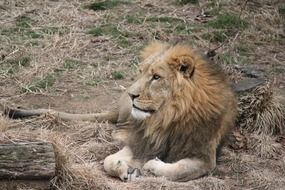 relaxing majestic lion