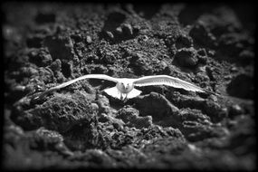 black and white photo of a flying seagull