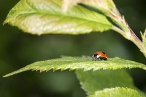 beautiful and cute Ladybird