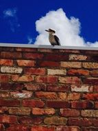 Kookaburra sitting on brick wall at blue sky