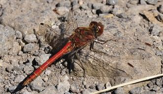 Closeup photo of red dragonfly