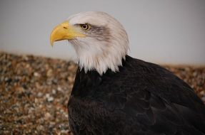 Picture of Bald Eagle