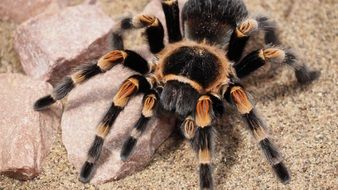 hairy tarantula spider close-up