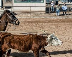 cattle Roping on ranch