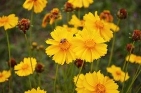 coreopsis or Parisian beauty