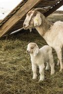 Animals Goat Lambs Domestic Goat