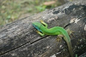 beautiful and cute green Lizard