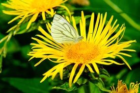 white butterfly sits on a yellow flower