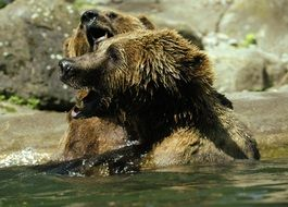 funny brown bears in the zoo