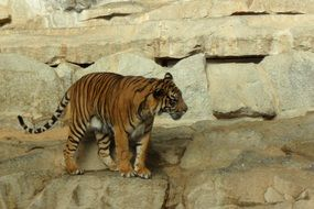 deliciously beautiful Tiger in Zoo