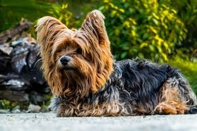 little dog yorkshire terrier