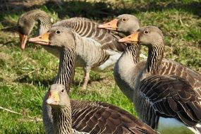 domestic grey geese